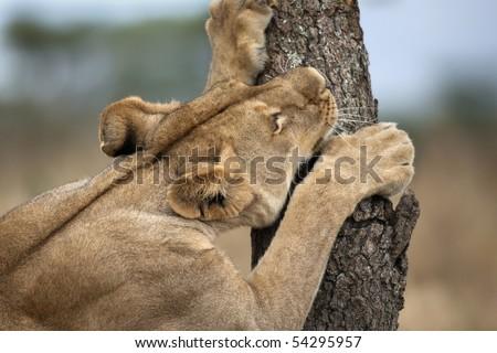 Lioness sharpening teeth on tree, Serengeti National Park, Serengeti, Tanzania, Africa - stock photo