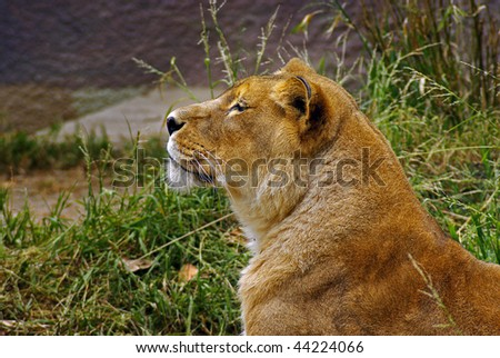 Lioness Side view - stock photo