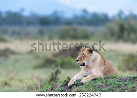 lioness sitting in a mount in the Masai Mara - stock photo