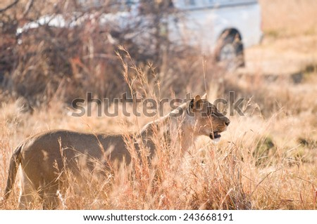 Lioness Stalking through tall grass along side a safari vehicle - stock photo