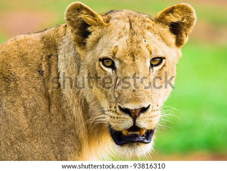 Lioness Staring - stock photo