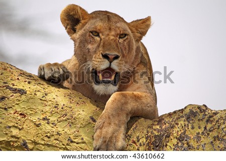 Lioness using an acacia tree as a vantage point in the Serengeti national park, Tanzania - stock photo