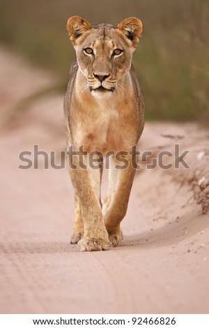 Lioness walking - stock photo
