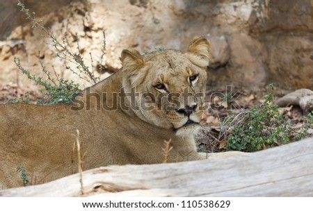 Lioness walking in a park