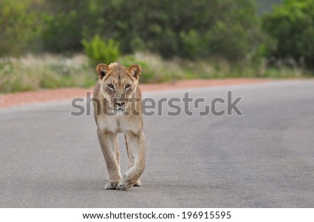 Lioness walking on a road - stock photo