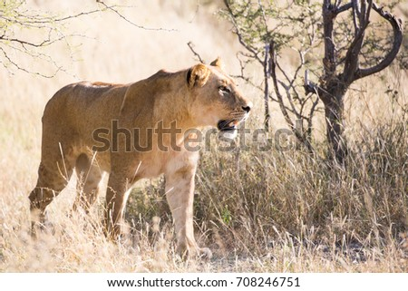 Lioness walking though tall grass while hunting for food, South Africa