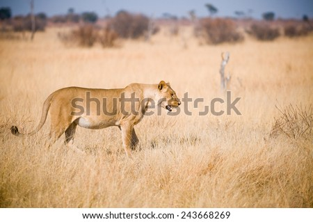 Lioness walking through open grassland in Hwange National Park, Zimbabwe - stock photo