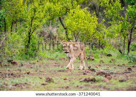 Lioness walks in the jungle