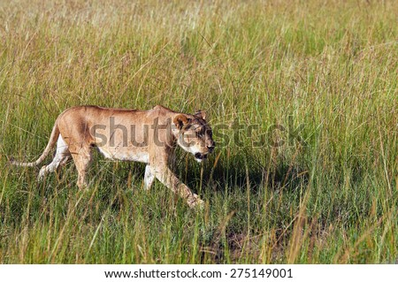 Lioness walks through the green grass hunting for prey - stock photo