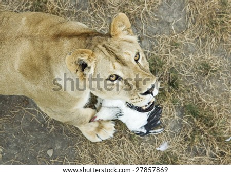 Lioness with chicken - stock photo