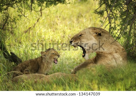 lioness with dangerous teeth and puppy - stock photo