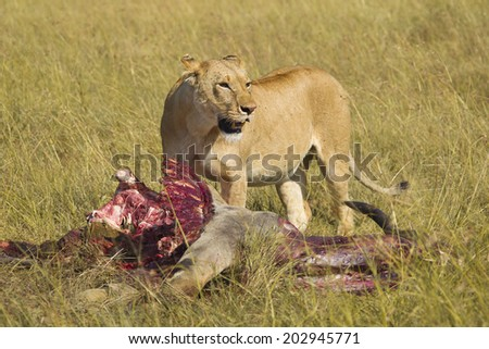 Lioness with eland kill, Masai Mara National Reserve, Kenya - stock photo