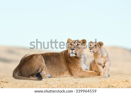 Lioness with her cub having rest in desert