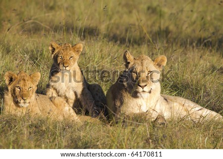 Lioness with her young cubs basque in afternoon light. - stock photo