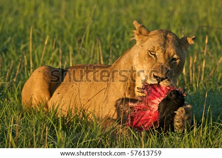 Lioness with part of a wildebeest. Lions often scavenge for food, so she may have stolen it. - stock photo