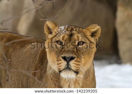 lioness with snow - stock photo