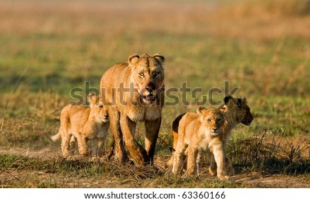 Lioness with three cubs. The lioness after hunting conducts cubs to prey. - stock photo