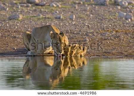 Lioness with two cubs drinking; Panthera leo