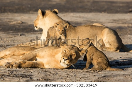 Lioness with two cubs in the Savuti reserve in Botswana - stock photo