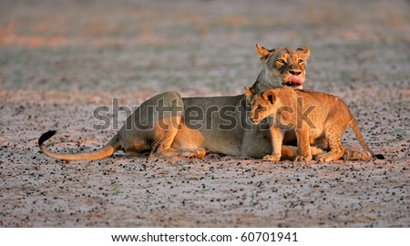 Lioness with young lion cub (Panthera leo) in early morning light, Kalahari desert, South Africa