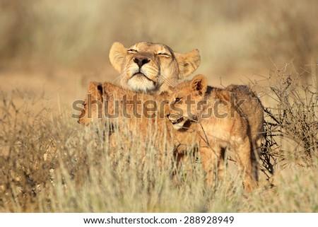 Lioness with young lion cubs (Panthera leo), Kalahari desert, South Africa - stock photo