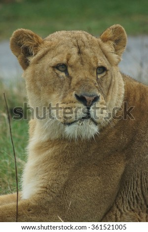 Lioness within a pride of African Lion - Panthera leo