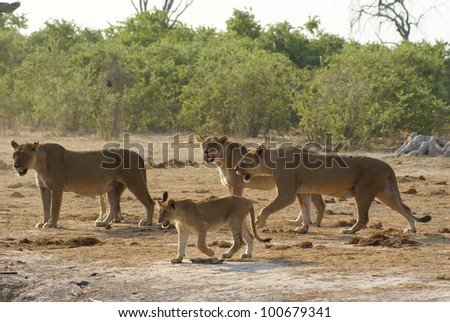 Lionesses and their cub in the Savuti Park, Botswana - stock photo