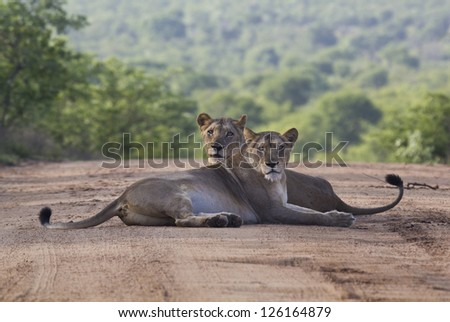 Lionesses at rest posing symmetrically - stock photo