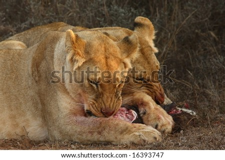 Lionesses holding on and snarling over the kill. - stock photo