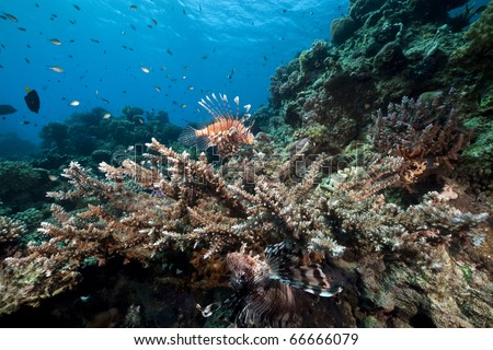 Lionfish and acropora. - stock photo