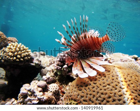 Lionfish and coral