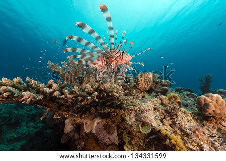 Lionfish and coral  in the Red Sea - stock photo