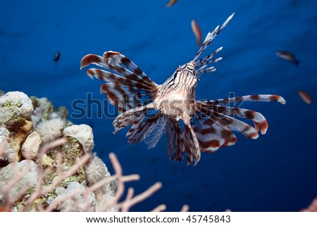 lionfish and ocean taken in the Red Sea. - stock photo