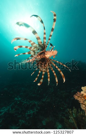 Lionfish and tropical reef and fish in the Red Sea
