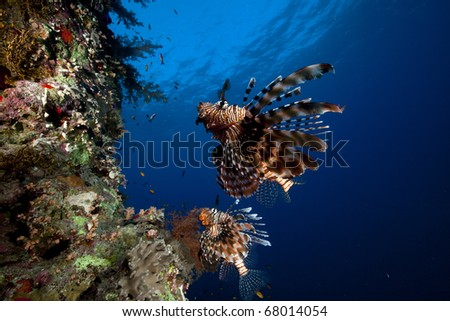 Lionfish and tropical reef in the Red Sea.