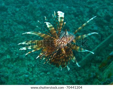 Lionfish at sipadan. - stock photo
