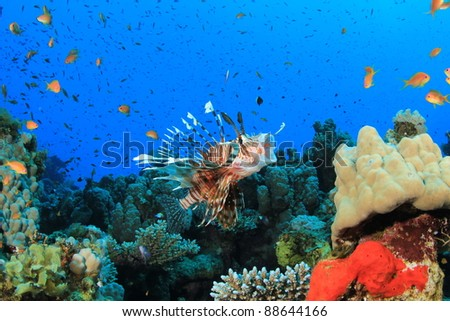 Lionfish catches an Anthias fish on a tropical coral reef - stock photo