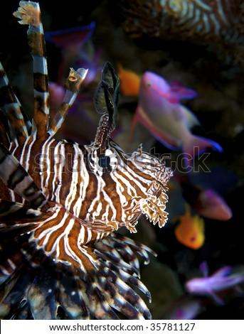 lionfish closeup - stock photo