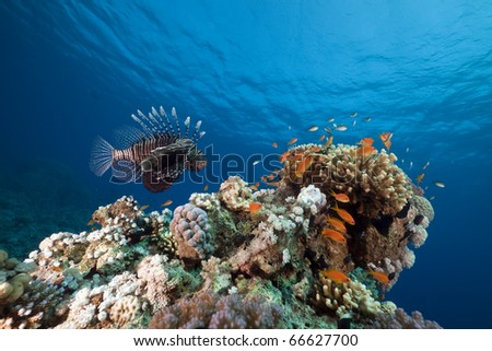 Lionfish. coral and ocean. - stock photo