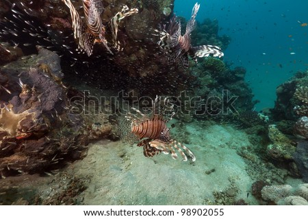 Lionfish hunting  in the Red Sea