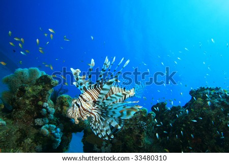 Lionfish hunts over coral reef - stock photo