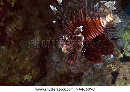 Lionfish in de Red Sea