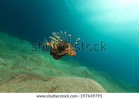 Lionfish in the Red Sea - stock photo