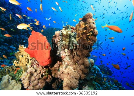 Lionfish on a colorful Coral Reef - stock photo