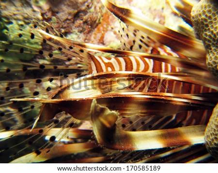 Lionfish pectoral fin details through macro lens - stock photo