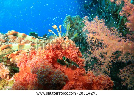 Lionfish (Pterois miles) and beautiful red Soft Corals (Dendronephthya hemprichi) - stock photo