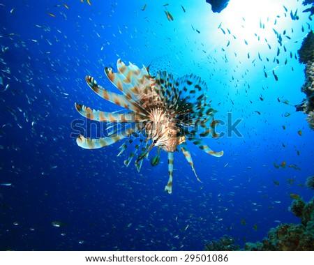 Lionfish (Pterois miles) hunts Glassfish - stock photo