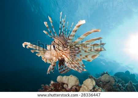 Lionfish (Pterois miles) on coral reef - stock photo