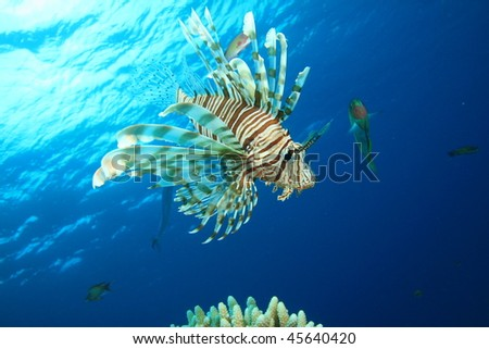 Lionfish (Pterois miles) with wrasse in background
