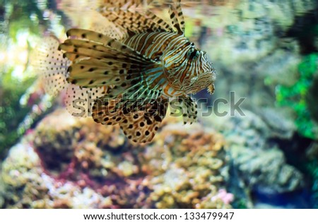 Lionfish (Pterois mombasae) on a coral reef